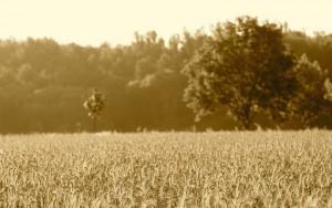 Getreideanbau - Vogelsberg
